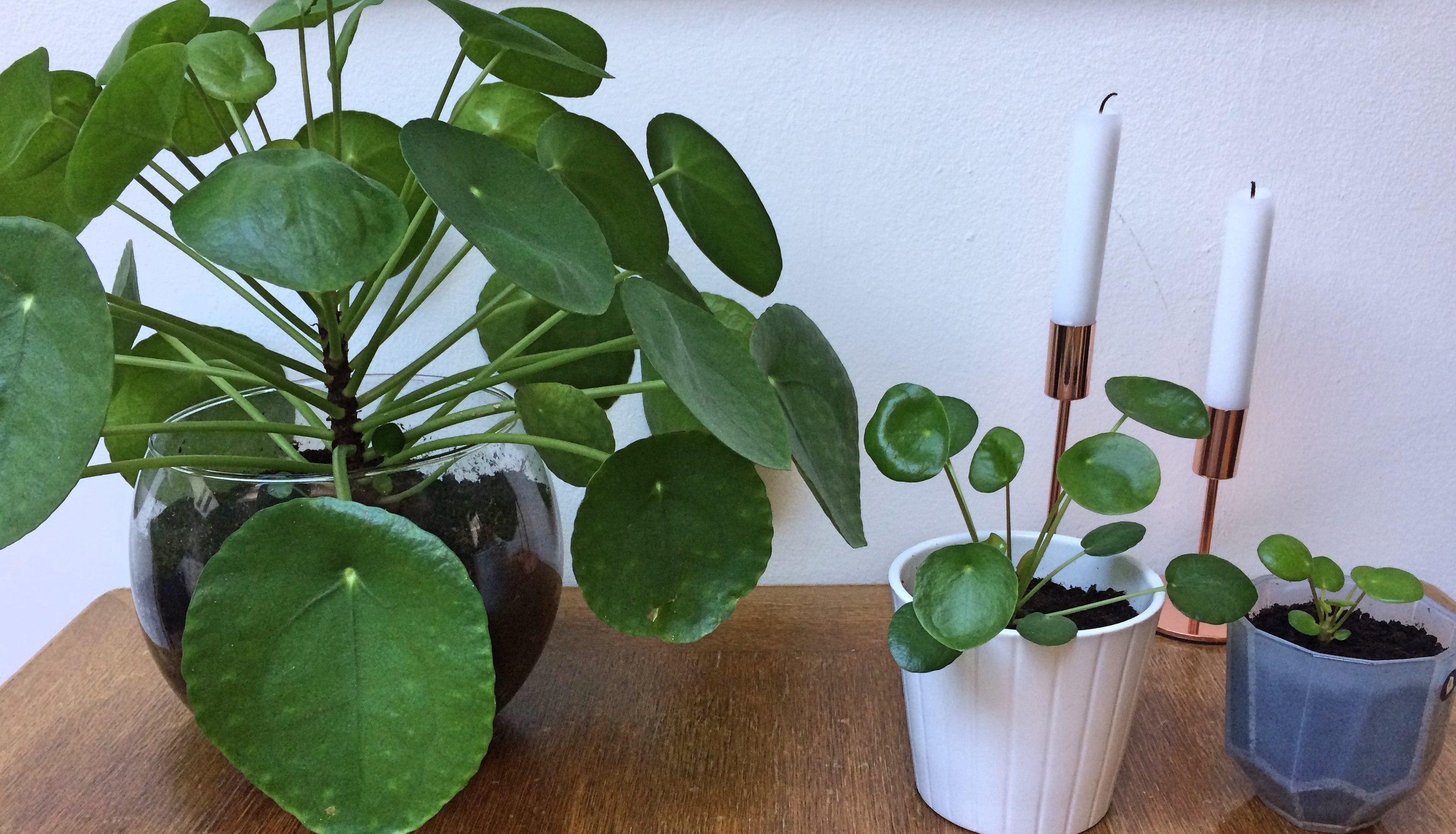 pannenkoekplant familie