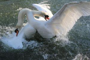 SwanFight2