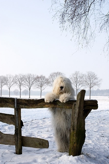 Sheep dog on hind legs looking longingly across fence in winter wonderland