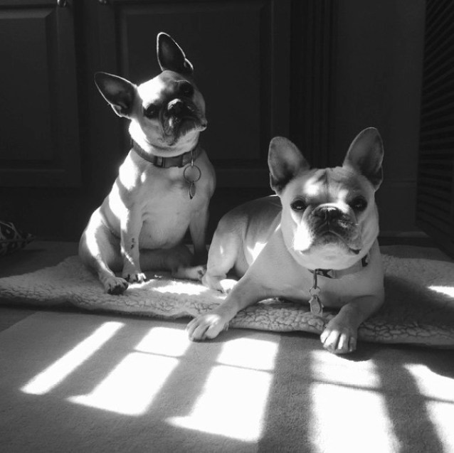 Black and white photo of a pair of french bulldogs laying in a stream of sunlight.  via remodelista