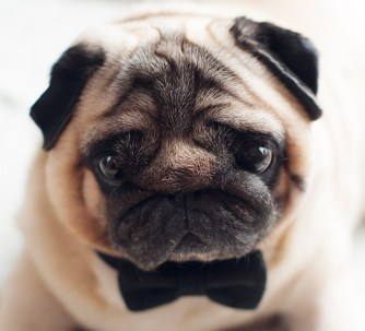 Pug in Bow Tie