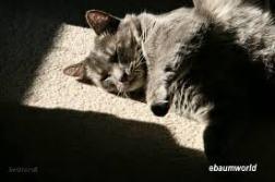 gray cat lying in a square of sun - via ebaum'sworld.com