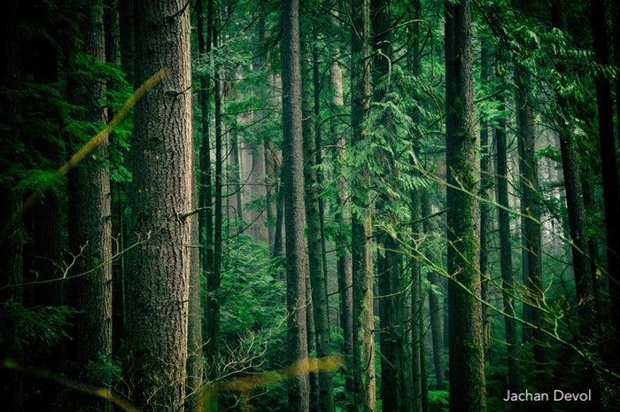 jachan devol-trees-forest-paper-managment