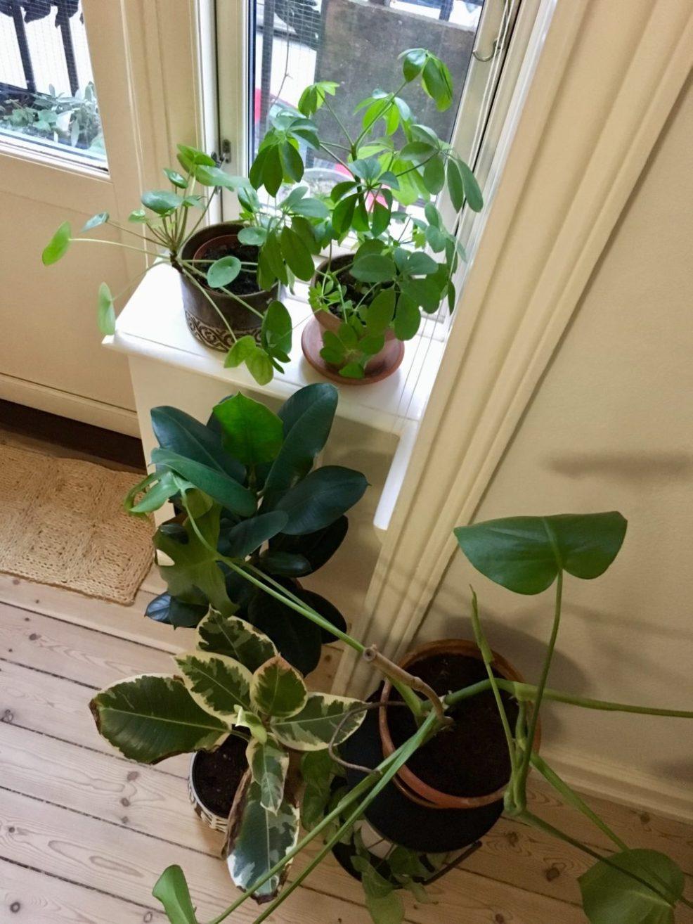 houseplants for northern windows the little botanist. Black Bedroom Furniture Sets. Home Design Ideas