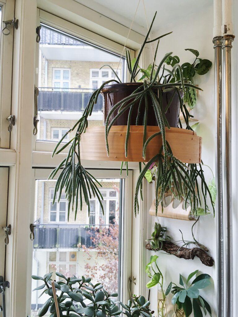 hængeplanter rhipsalis pilocarpa