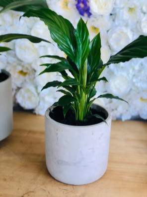 Peace Lilly in Cement Pot $65