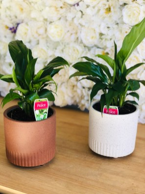 Medium Peace Lily Plants in footed pink clay $65