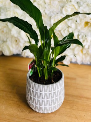 Peace Lily in Aztec Cement $55