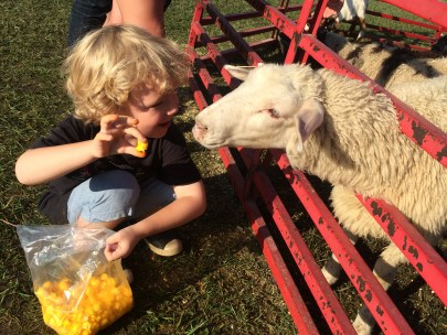 We went to a cheese curd festival and they had baby farm animals. Here, Oliver is teasing this lamb with day glow orange cheese popcorn.