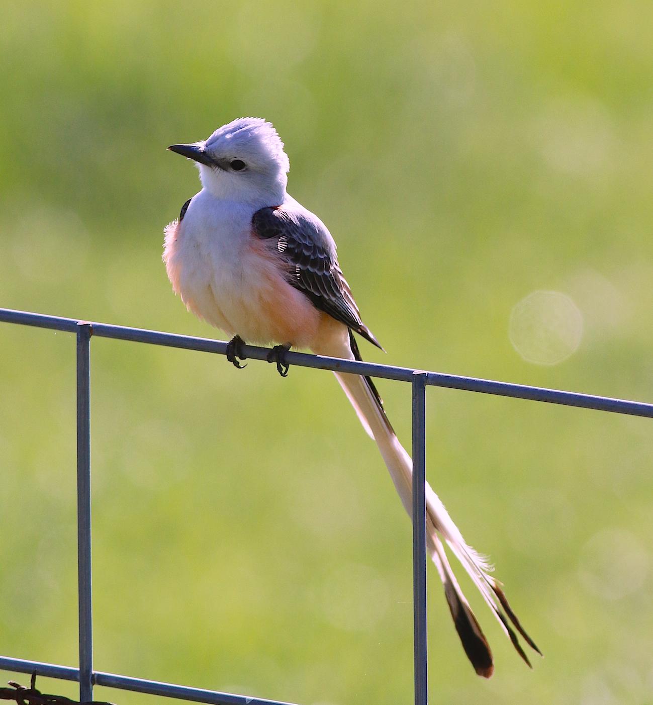 State Bird Of Oklahoma
