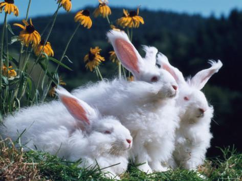 Reinhard Angora Rabbits