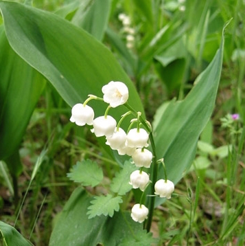 Muguet Lily of the Valley