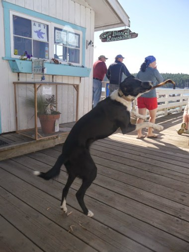 This dog, Arch, liked to play 'stick'.  He guards the dock at the Montague Harbor Marina.