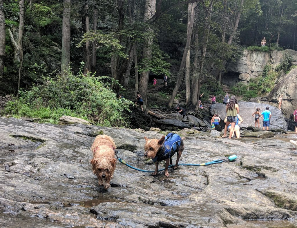 Two small dogs standing on rocks near a waterfall in the woods in Maryland