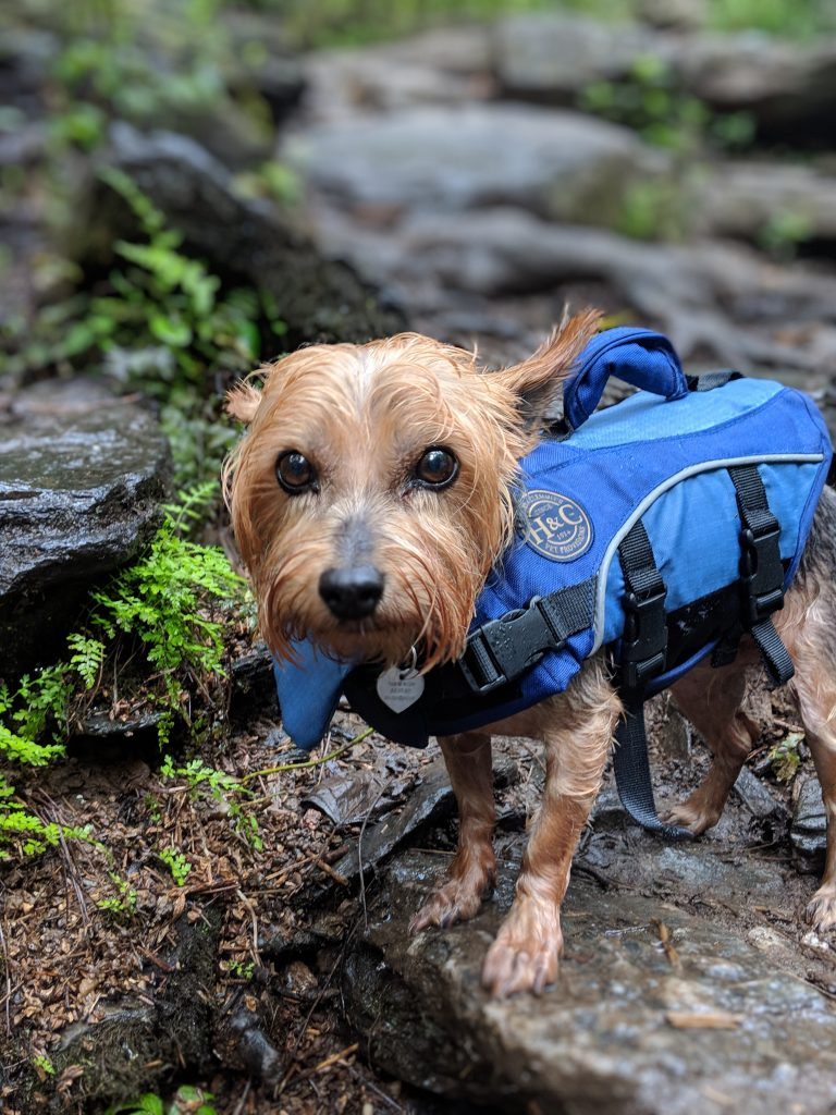 A closeup of a wet dog wearing a lifejacket in the woods