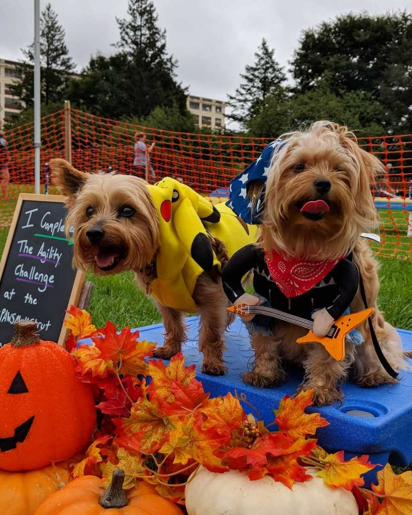 "Two small dogs stand on a platform in front of a sign that says ""I completed the OpBarks agility course a the PAWS Mutt Strut."" Neither of them completed the course."