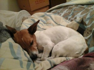 Having Jack Russell dreams