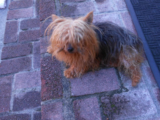 A lost Yorkie that stole our hearts