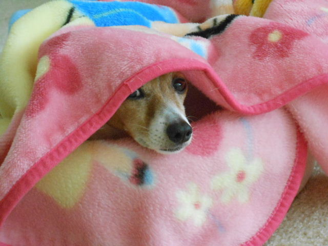 dog spying from under blanket