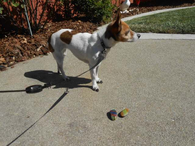 dog looks for best place to hide painted rocks