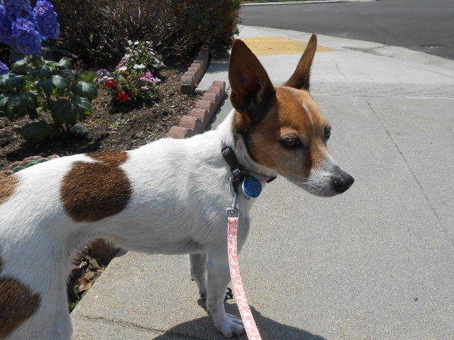 jack russell dog 8 years old