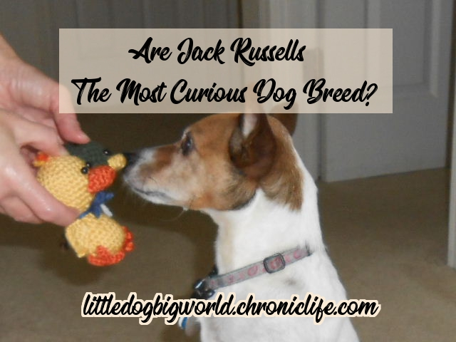 are jack russells most curious dogs