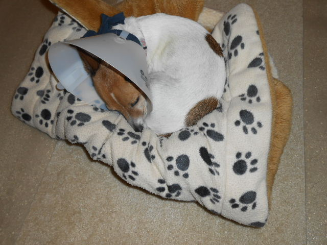 dog recovering from injury hood of shame