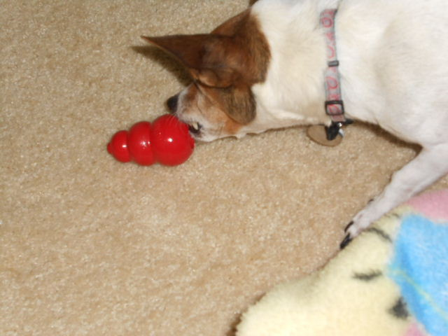 dog playing with kong toy