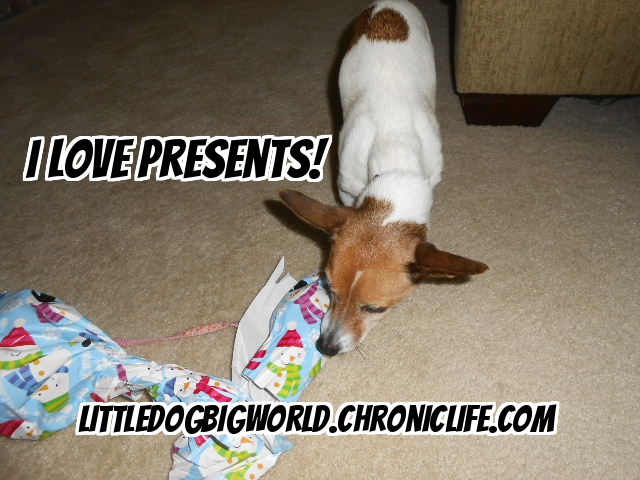 jack russell terrier loves to open presents