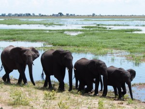 Herd of Elephants walking by the Chobe River