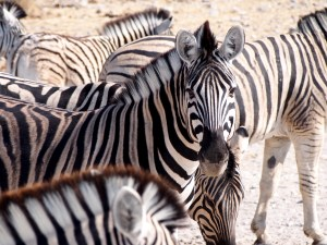 Zebras in Etosha National Park