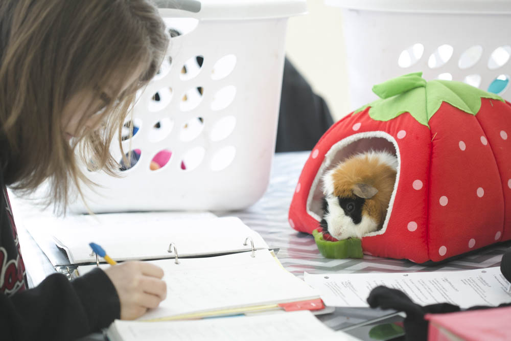 Spartacus the guinea pig and homeschooling adventures.