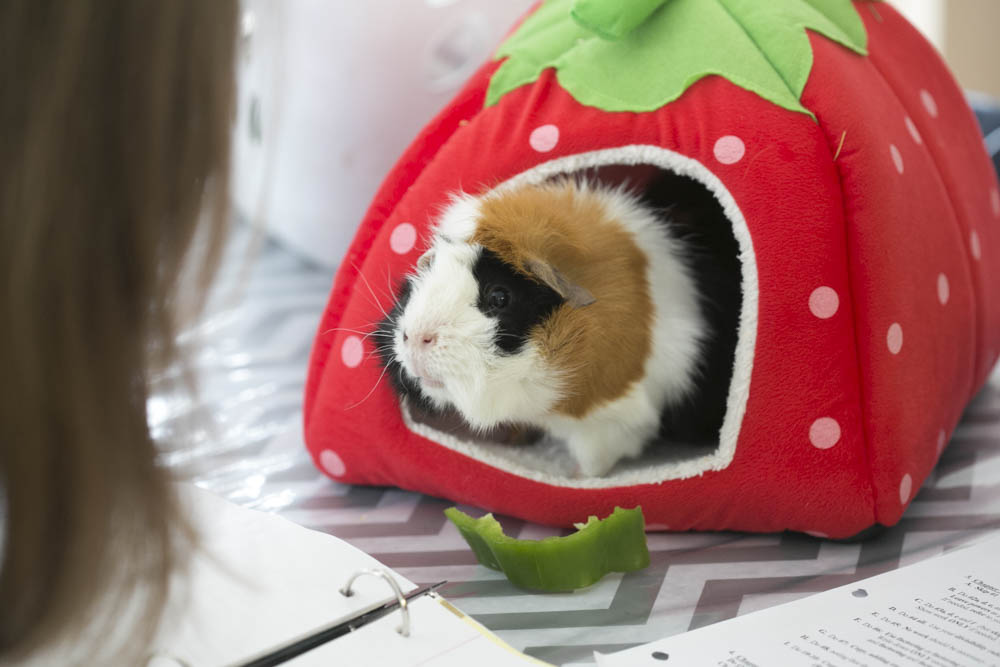 Spartacus the Guinea Pig and Homeschooling