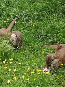 British otters eating their lunch.