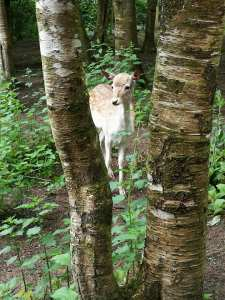 A deer in the woodland.