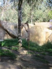 Gazelle at San Diego Zoo