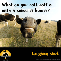 What do you call cattle with a sense of humor? Laughing stock!