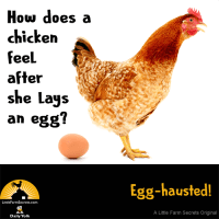 How does a chicken feel after she lays an egg? Egg-hausted!