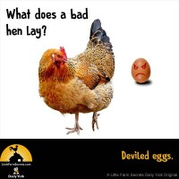 What does a bad hen lay? Deviled eggs.