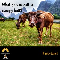 What do you call a sleepy bull? A bull-dozer!