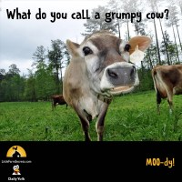 What do you call a grumpy cow? MOO-dy!