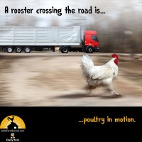 A rooster crossing the road is...