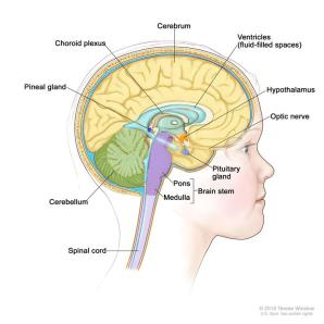 Parts of the brain 2