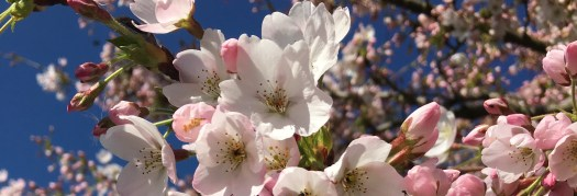 Photo of Prunus yedoensis (the Yoshino cherry) in blossom in the Golden Valley, Little Gaddesden, in the week before Mothering Sunday