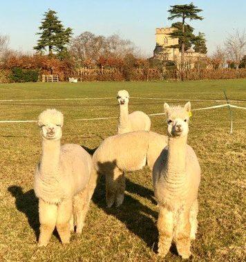 Photo of alpacas
