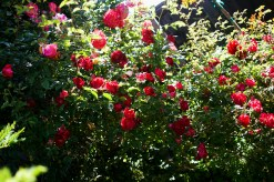 been a good year for the roses.