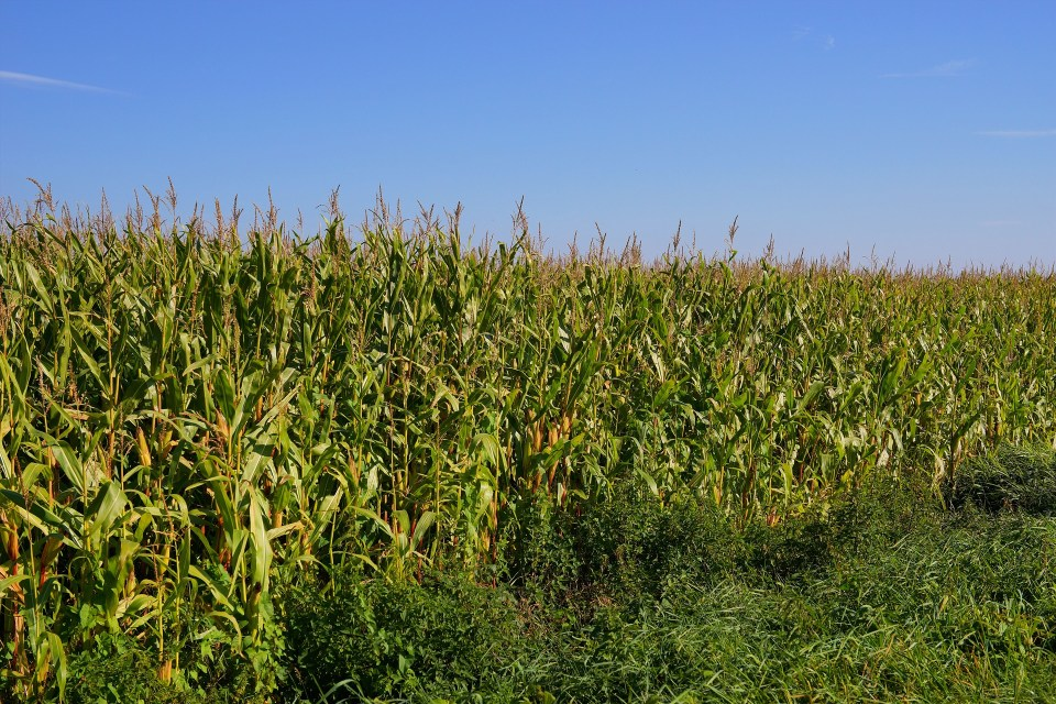 Can GMOs Feed The World?