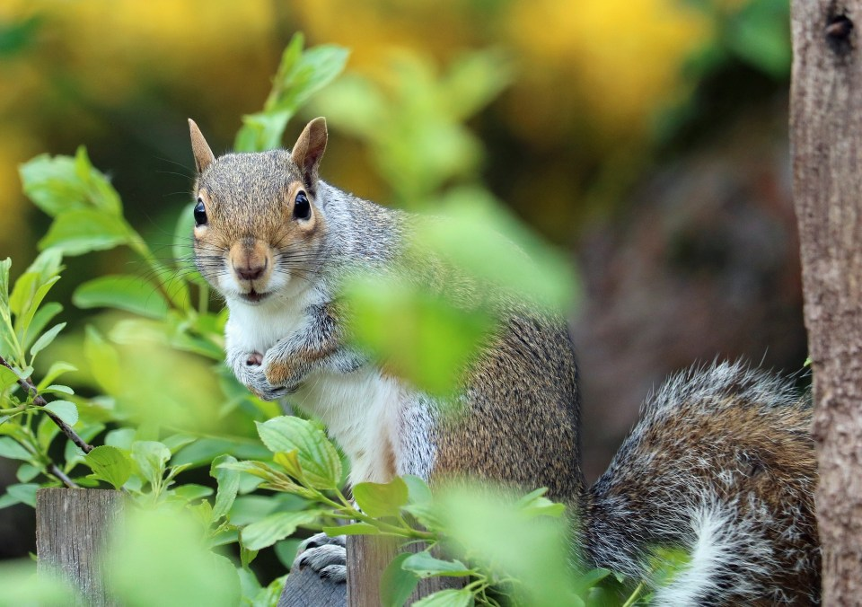 In Defence Of Grey Squirrels