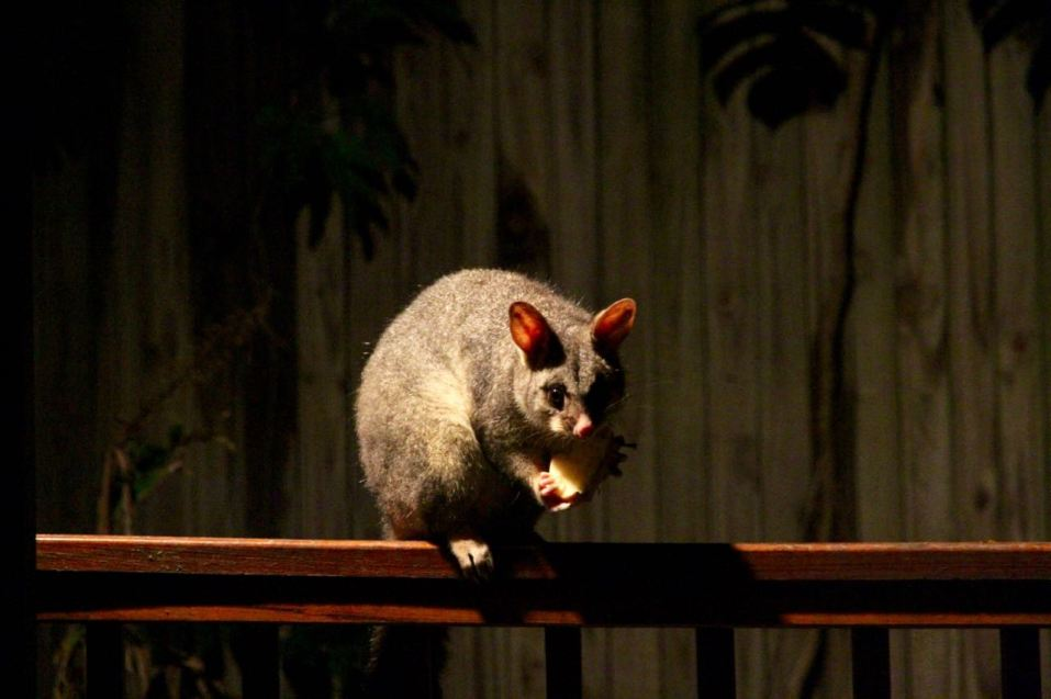 This is Mushroom, the very fat, cheeky possum.