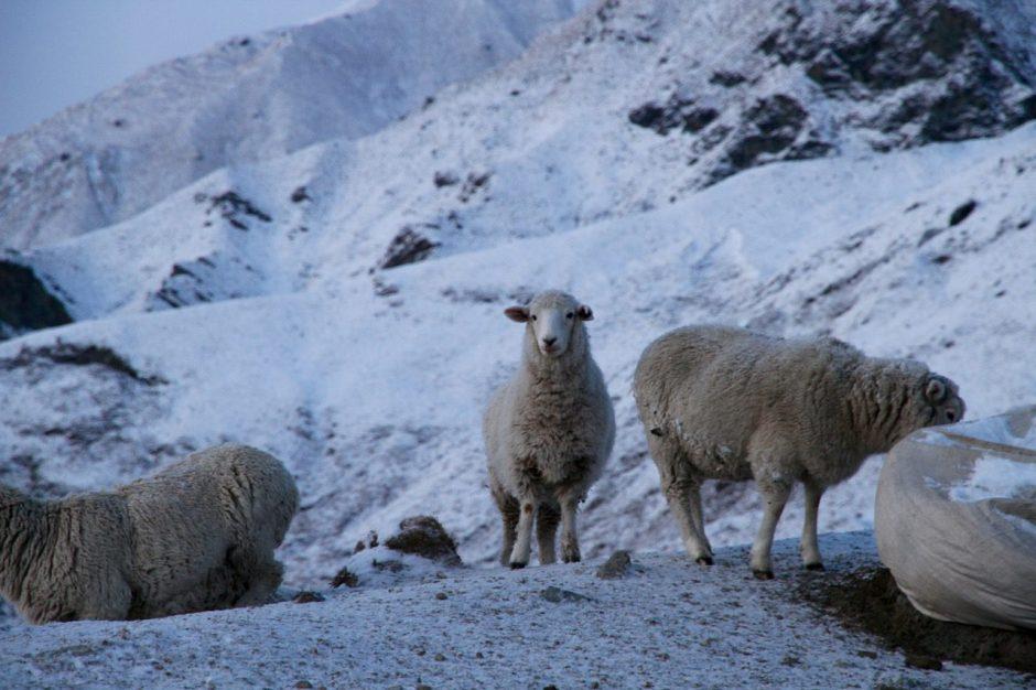 New Zealand Sheep Travel Tips Blog